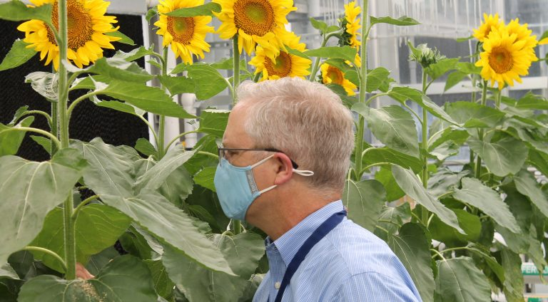 (St. Louis Post Dispatch) Rubber from sunflowers? Pentagon thinks startup's research is golden
