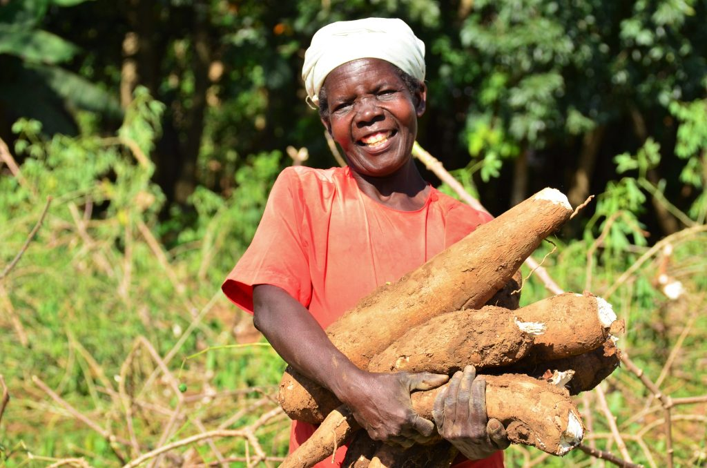 (Post Dispatch) Danforth Center's disease-resistant cassava tuber, key to feeding Africa, cleared for final trial